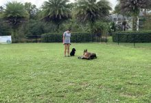 Bella the GSD learning impulse control