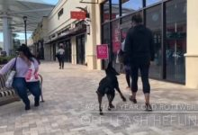 Sascha the Rottweiler OFF LEASH at the Outlet Malls