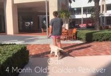 Odin the Golden Puppy Downtown Gardens