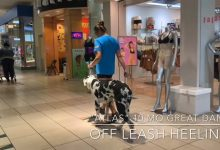 Atlas the GREAT DANE at the mall OFF LEASH!!
